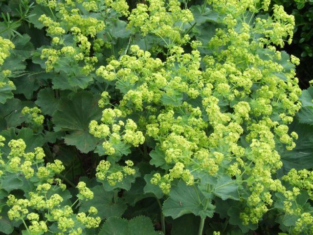 Bezauberder Frauenmantel (Alchemilla vulgaris)