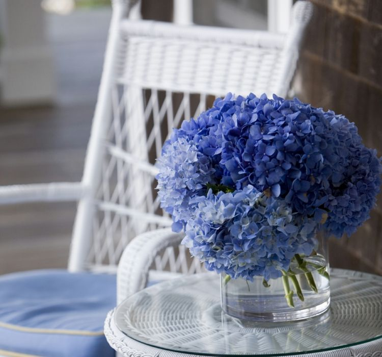 Blaue Gartenhortensien wirken zärtlich und rein