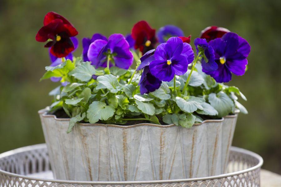 Rote und dunkelblaue Blumen lassen sich gut zusammen kombinieren