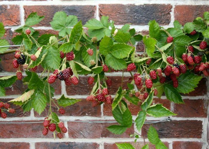 Auf der Terrasse oder auf dem Balkon Himbeeren pflanzen und genießen