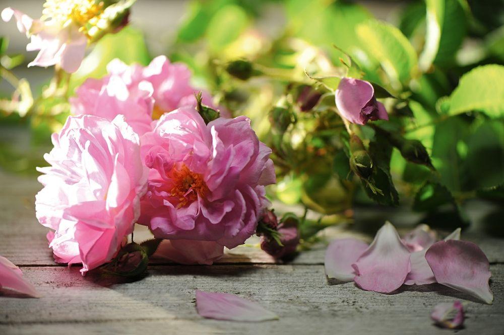 Die weltberühmte Rosa Damascena