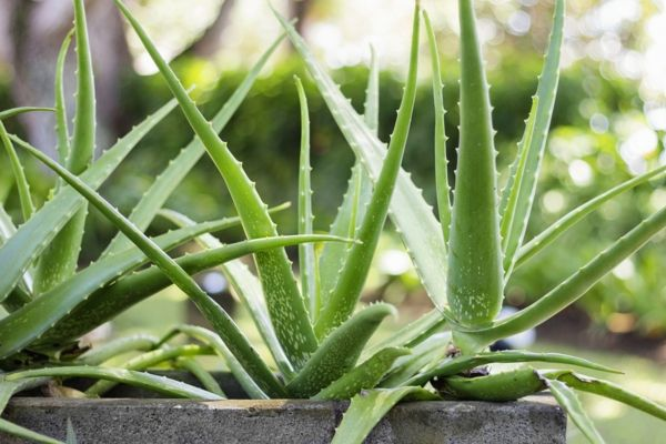 Echte Aloe wirkt beruhigend