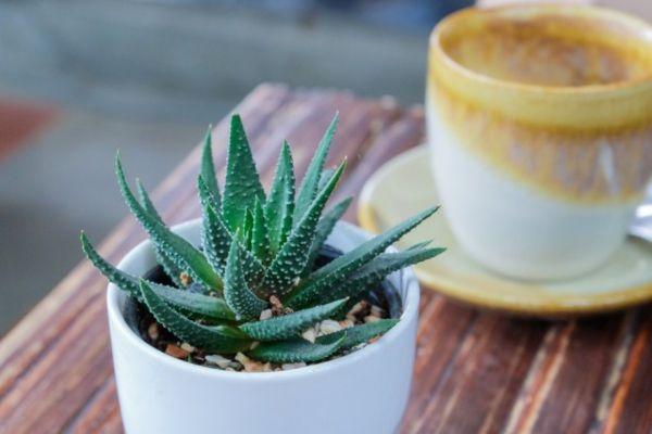 Dekorieren Sie Ihre Aloe mit kleinen Steinen