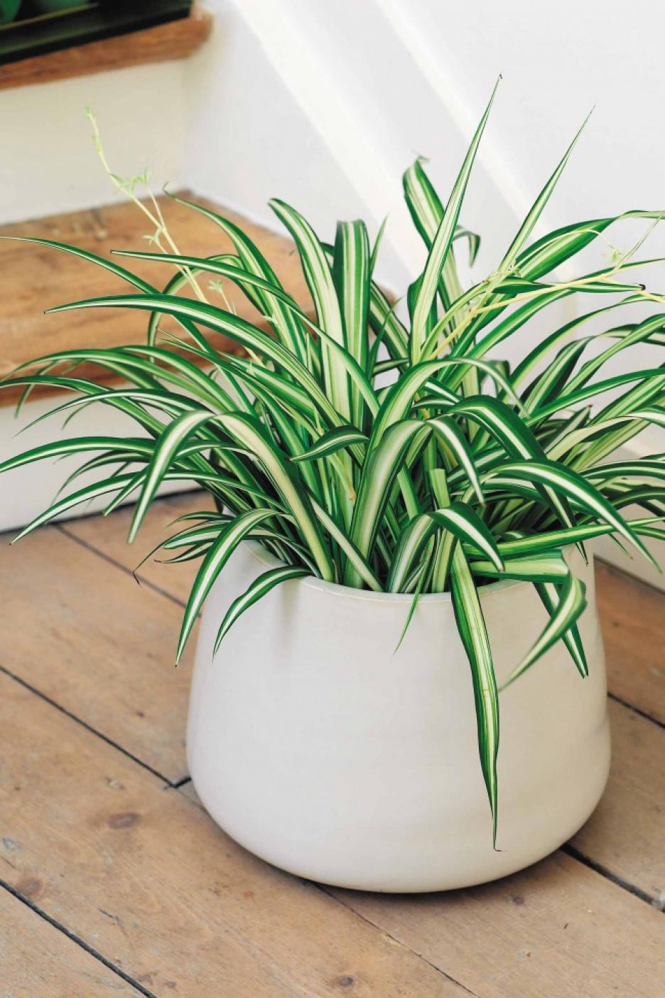 Grünlilie sieht elegant aus und reinigt die Luft