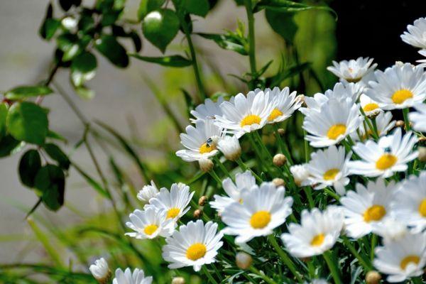 Mit Weiß wirken die Beete im Garten oder die Töpfe auf Balkon und Terrasse besonders lebendig