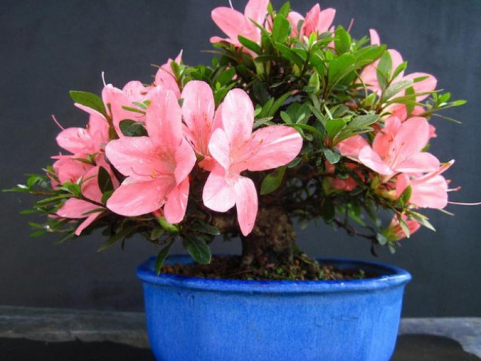 Die zarten Blüten der Zimmerazalee ergänzen die gemütliche Atmosphäre in Ihrer Küche