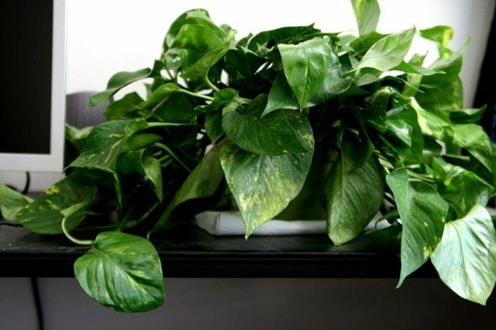 Efeutute im Sommer Zimmerpflanzen