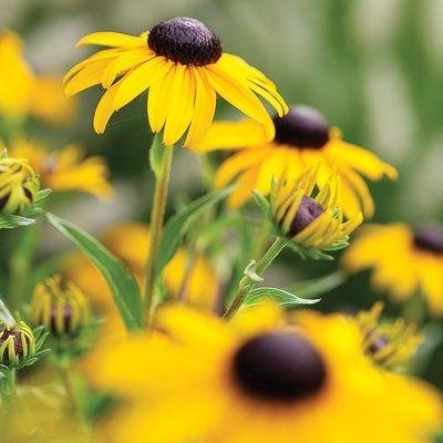 Gelber Sonnenhut -Rudbeckia Hirta