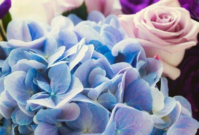 Hortensie Rose Trendfarben Serenity und Rose Quartz