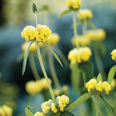 Strauchiges Brandkraut Phlomis fruticosa