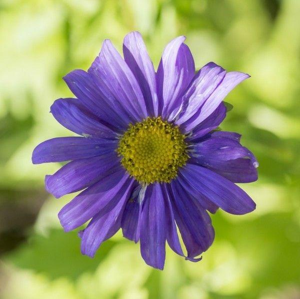 aster-herbstblumen