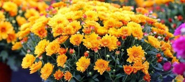 die-klassiker-der-herbstblumen-die-chrysanthemen