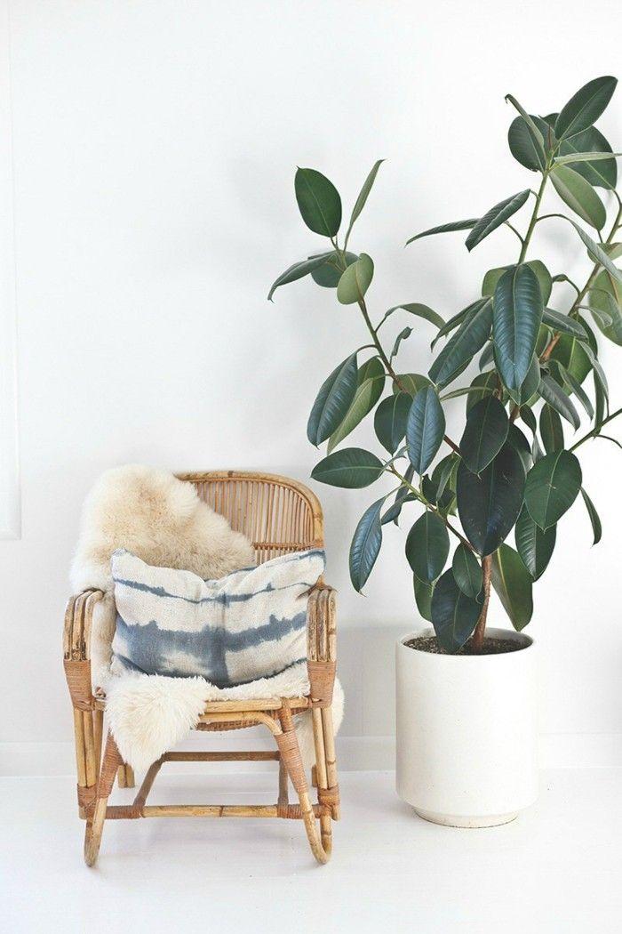 gummibaum-perfekte-zimmerpflanzen