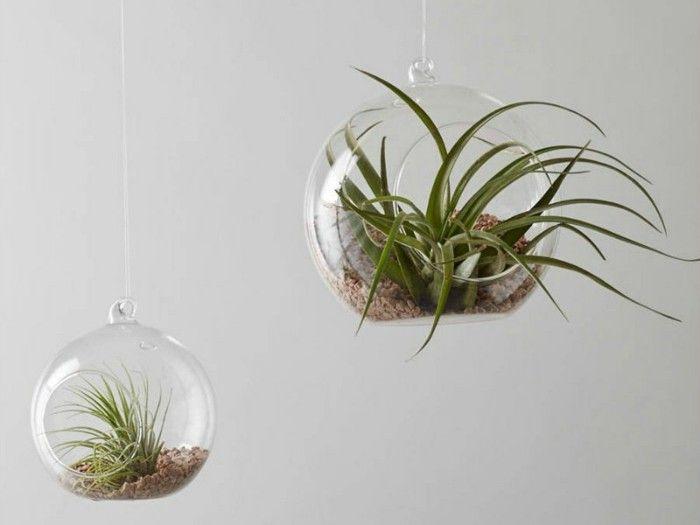 luftpflanzen-in-glaskugel-perfekte-zimmerpflanzen