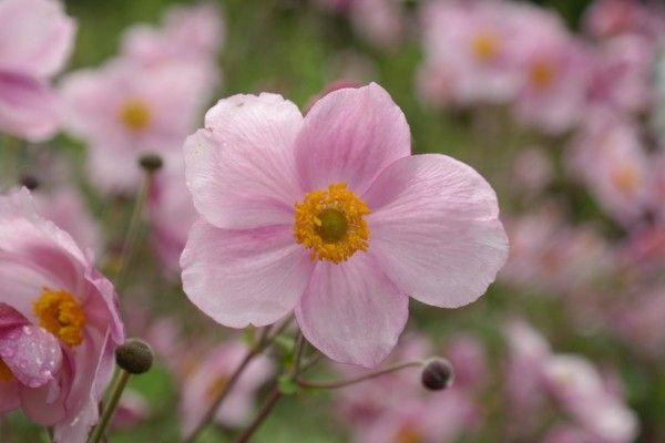herbstanemone-herbstblumen-im-garten