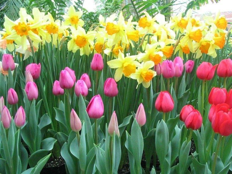 bevor-die-anderen-pflanzen-ihre-pracht-entfalten-setzten-tulpen-und-narzissen-farbige-akzente-im-beet