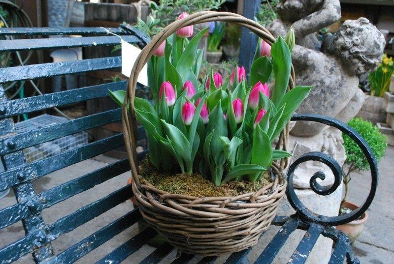 tulpen-fuhlen-sich-auch-im-topf-wnderbar