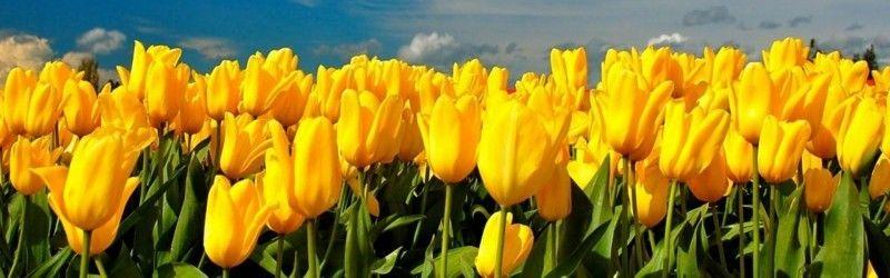 zwiebelblumen-wirken-am-effektvollsten-als-ganze-gruppen-der-selben-sorte