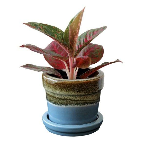 Der Kolbenfaden ist ein echtes Schmuckstück unter den pflegeleichten Zimmerpflanzen