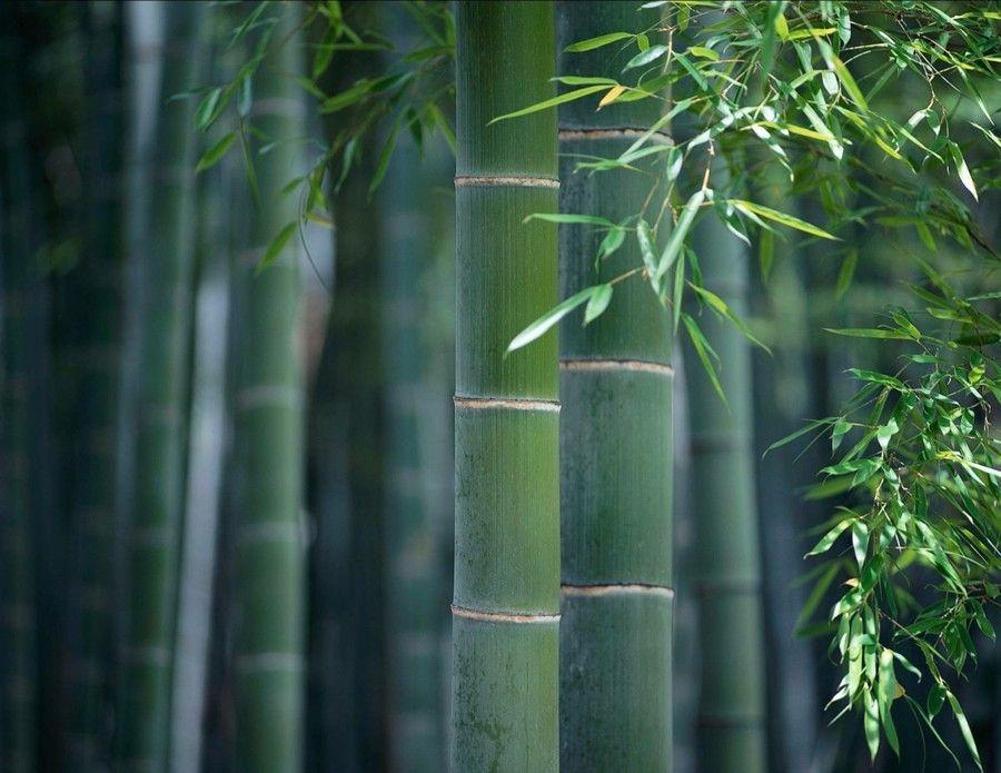 bambus-fur-den-ostlich-und-sudostlich-ausgerichtete-garten