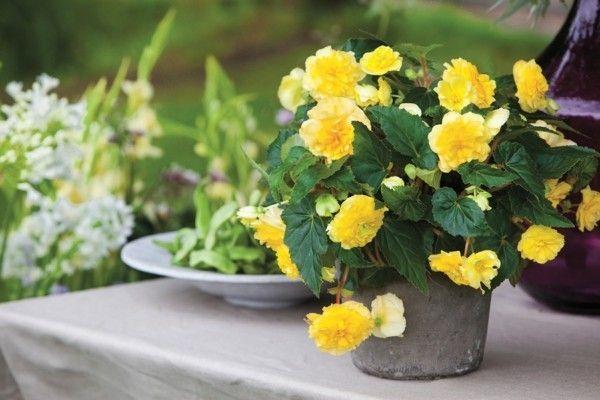 begonia-2-zimmerpflanzen
