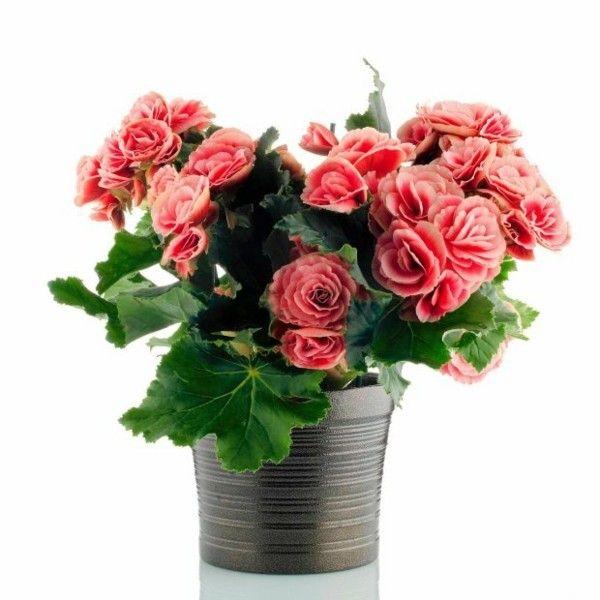 begonia-3-zimmerpflanzen