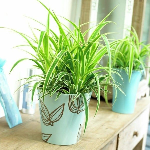 Die pflegeleichte Grünlilie reinigt die Raumluft und bringt viel Frische in jedes Ambiente
