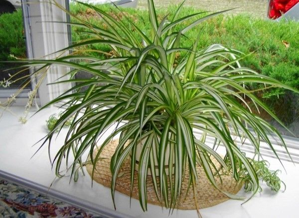 chlorophytum-2-zimmerpflanzen