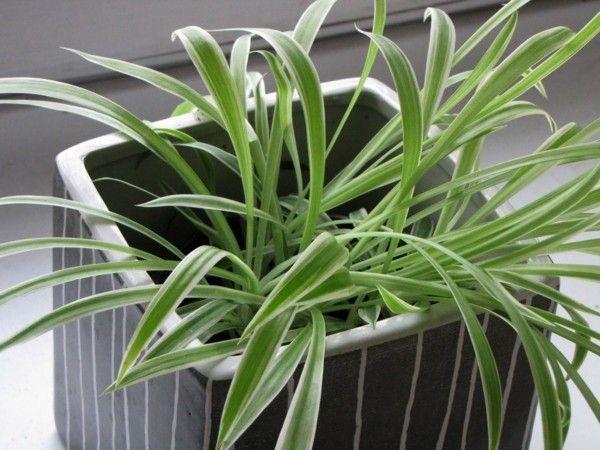 chlorophytum-3-zimmerpflanzen