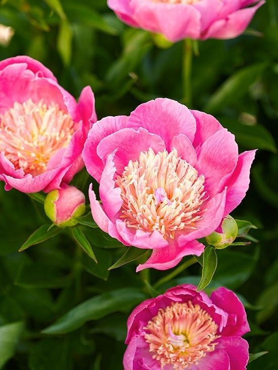 pfingstrose-gartenblumen