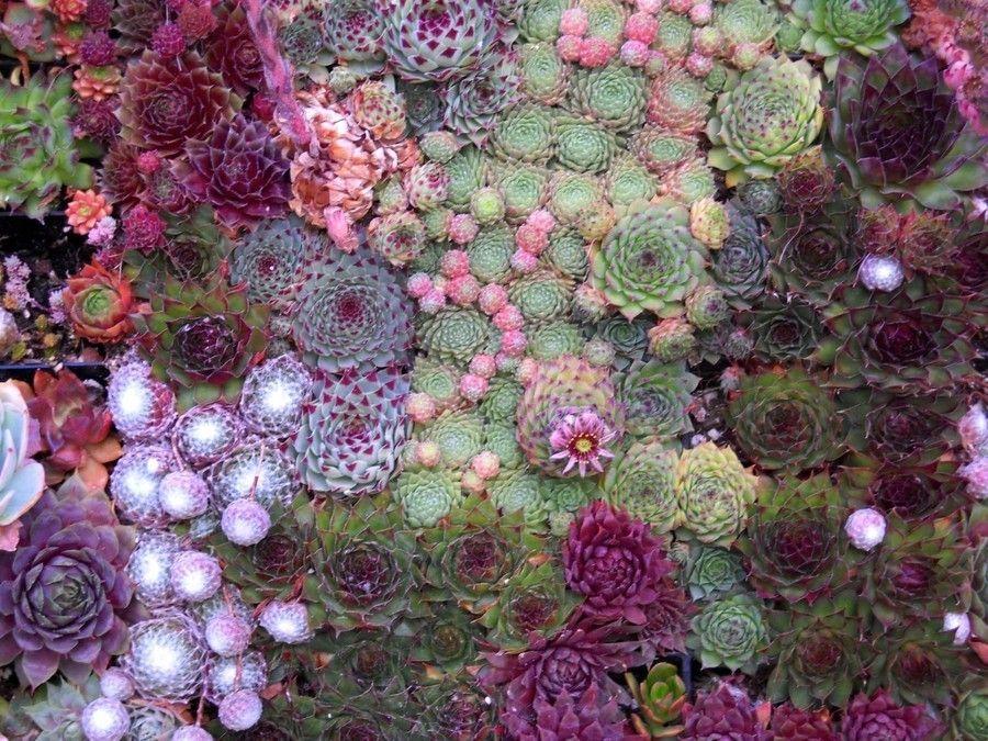 pflanzenarten-wie-steinkrauter-alyssum-in-dem-sud-westlichen-oder-nord-ostlichen-garten