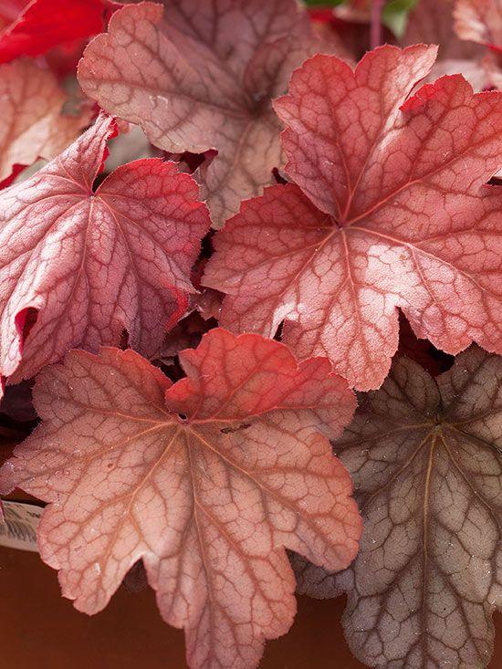purpurglockchen-heuchera-winterharte-gartenblumen