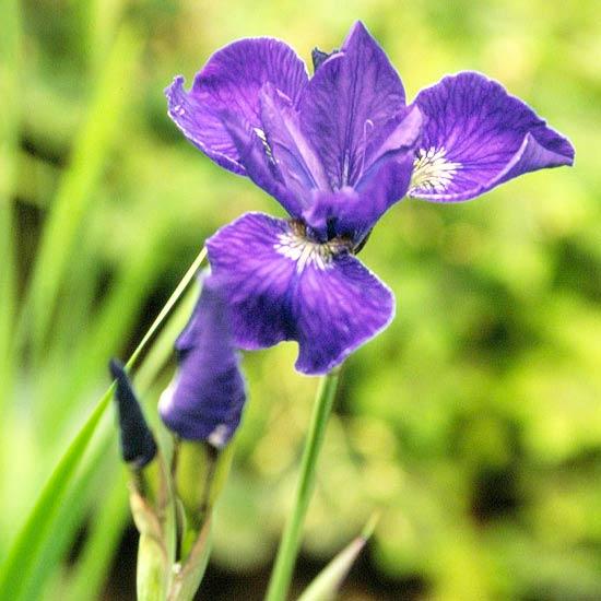 sibirische-schwertlilie-iris-sibirica