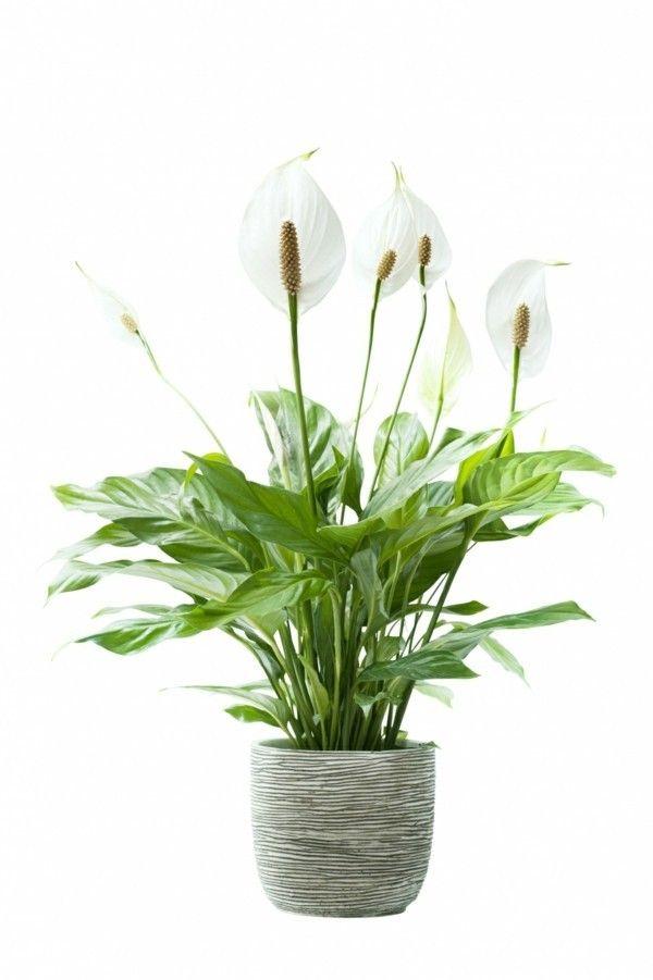 spathiphyllum-1-zimmerpflanzen