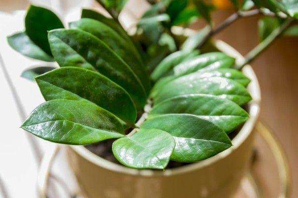 zamioculcas-1-zimmerpflanzen