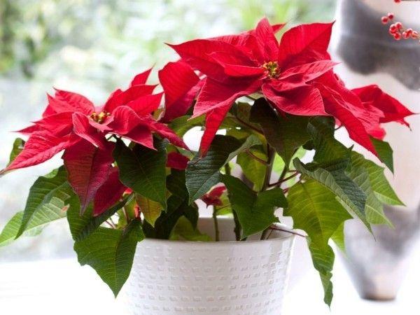 ein-roter-weihnachtsstern