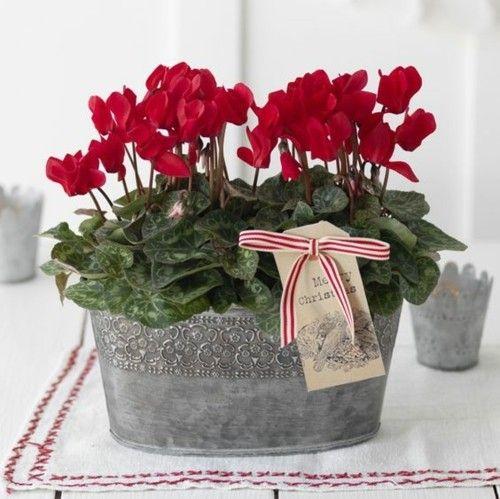 geschenkidee-rote-alpenveilchen