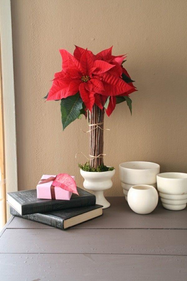 der weihnachtsstern die rote sch nheit in der weihnachtsdekoration. Black Bedroom Furniture Sets. Home Design Ideas