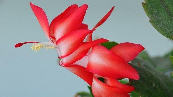 weihnachtskaktus-naturliche-schonheit-rot