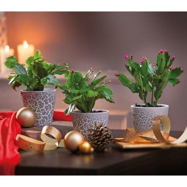 weihnachtskaktus-weihnachtlich-dekoriert