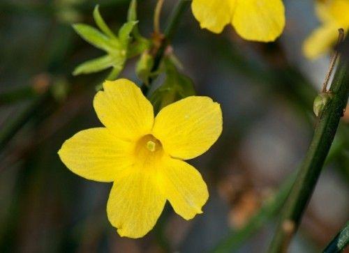 winterjasmin-gelb-betaubend-schon
