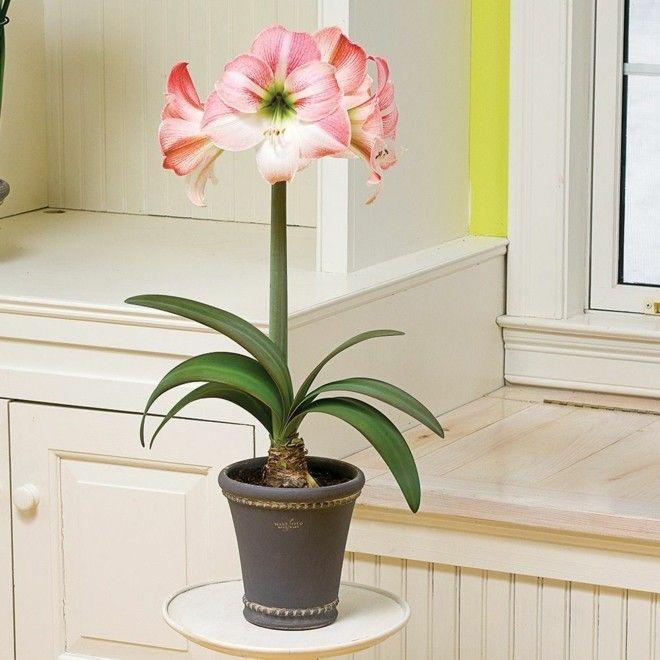 schone-bluhende-amaryllis