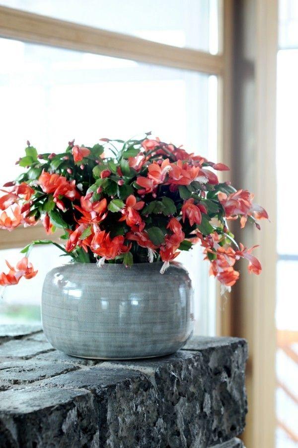 zimmerpflanzen-weihnachtskaktus-deko