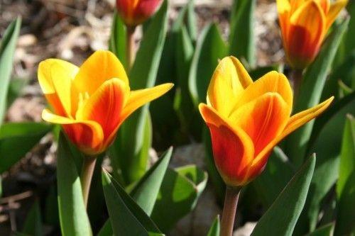 1_tulipa