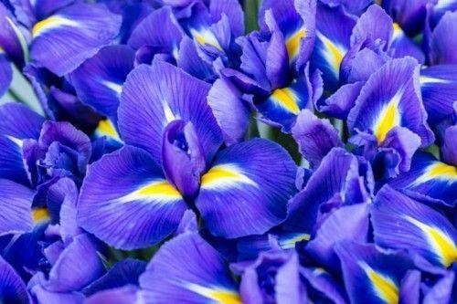 1_zwerg-iris
