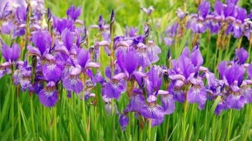 2_zwerg-iris