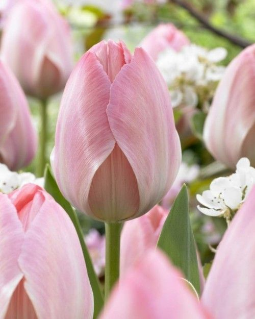 3_tulipa