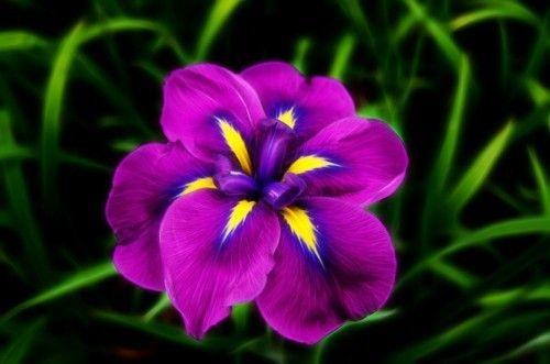 3_zwerg-iris