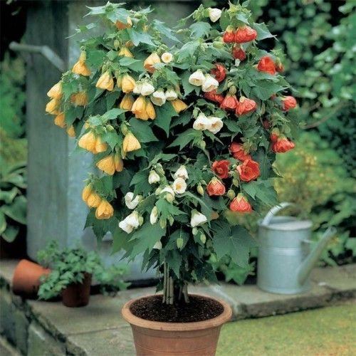 Abutilon_2-Herrliche Zimmerpflanzen