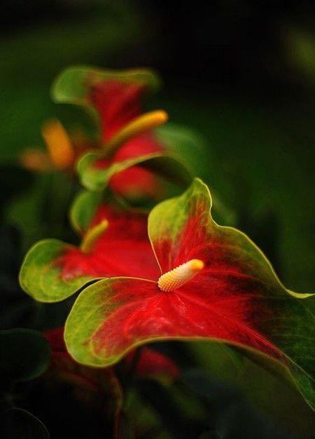 Anthurium Fmaingoblume auffallend schön - Blütenpracht